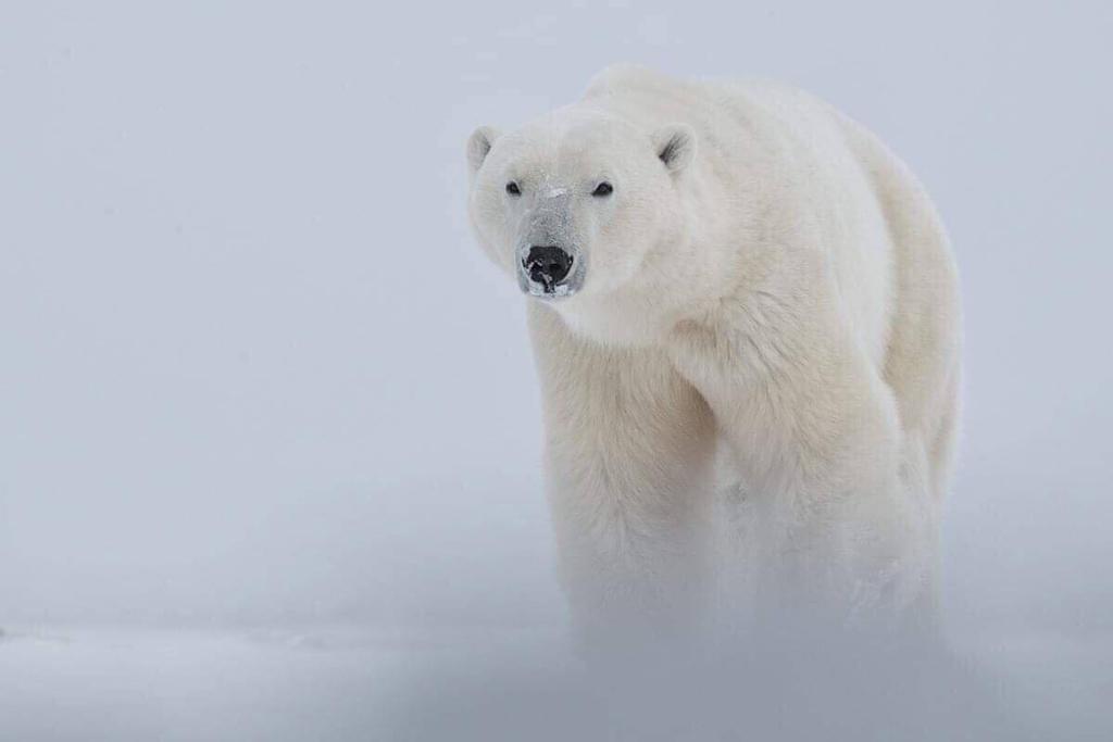 Polar bear lodges, photo leaders ready for October/November polar bear watching safaris