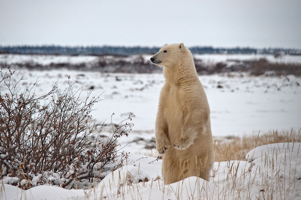 Polar bears are the stars of the show at Dymond Lake Ecolodge, but they have a supporting cast!