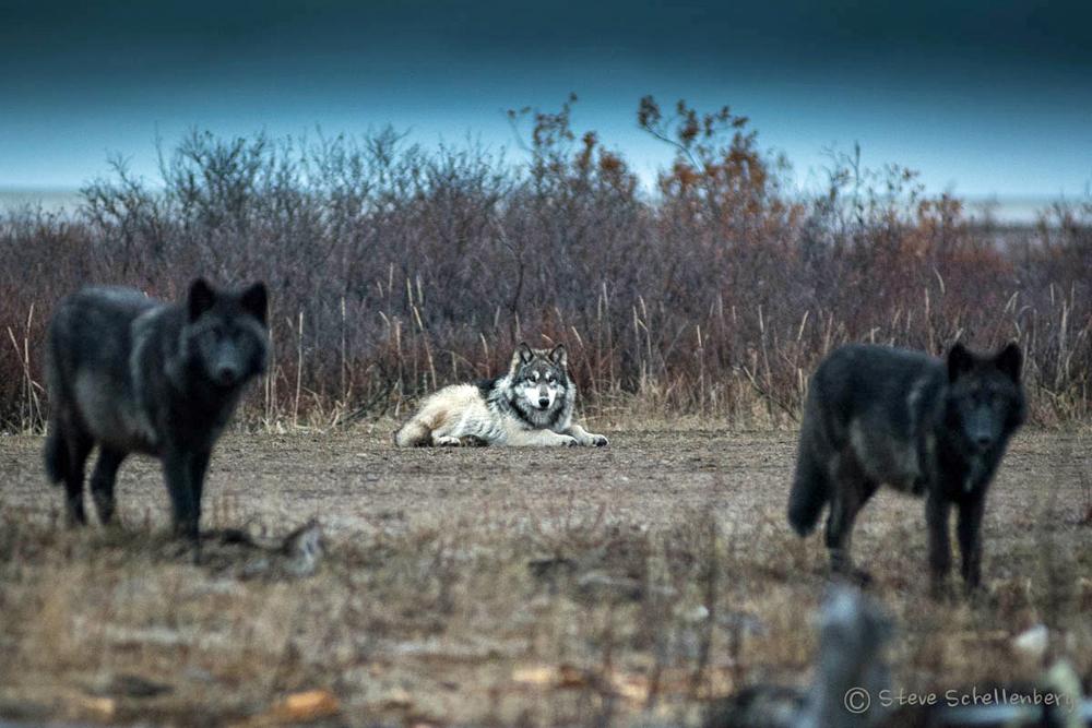 Wolves at Nanuk Polar Bear Lodge. Steve Schellenberg photo.