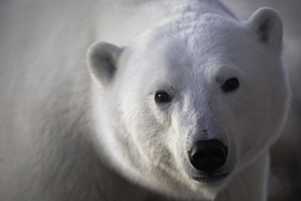 Postma helps guests create polar bear photos with feeling at Seal River Heritage Lodge, Dymond Lake Eco-Lodge