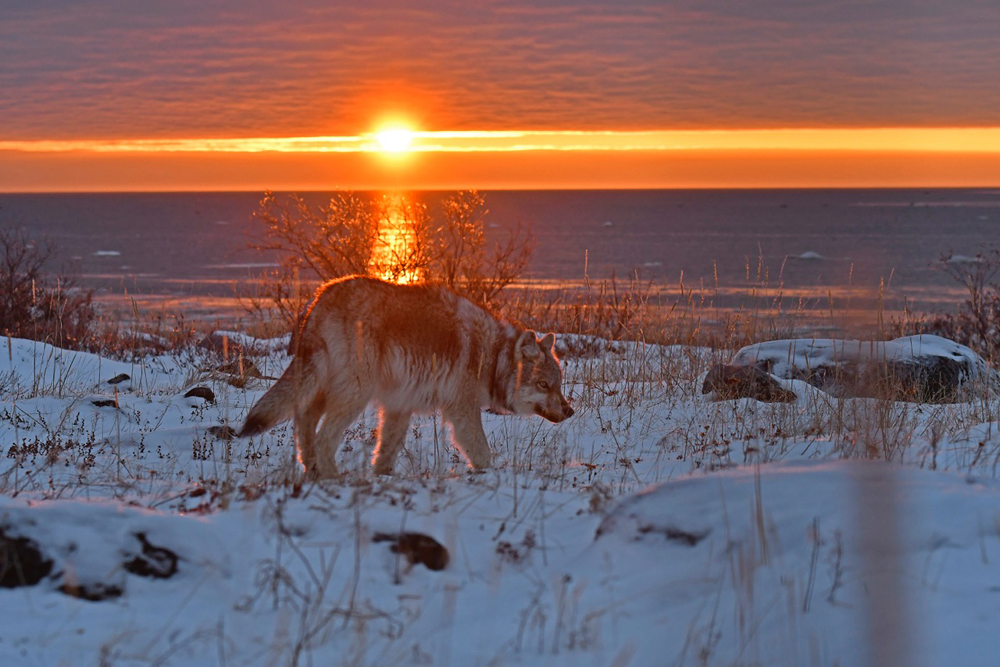 Photographer Ian Johnson returns to Seal River for polar bears, wolves, northern lights and snow