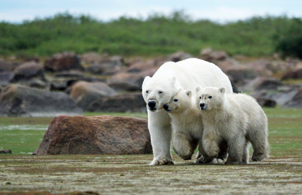 Mom and cubs on the move at Seal River. Denae D'Arcy photo.