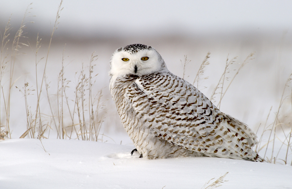 Snowy owl at Seal River. Dennis Fast photo.