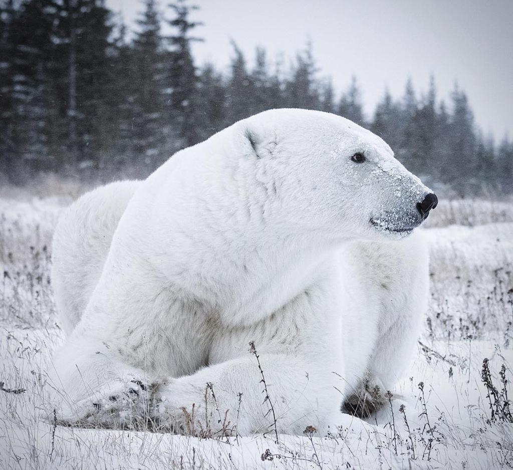 """Sumo"" at Nanuk Polar Bear Lodge. Anjali Singh photo."