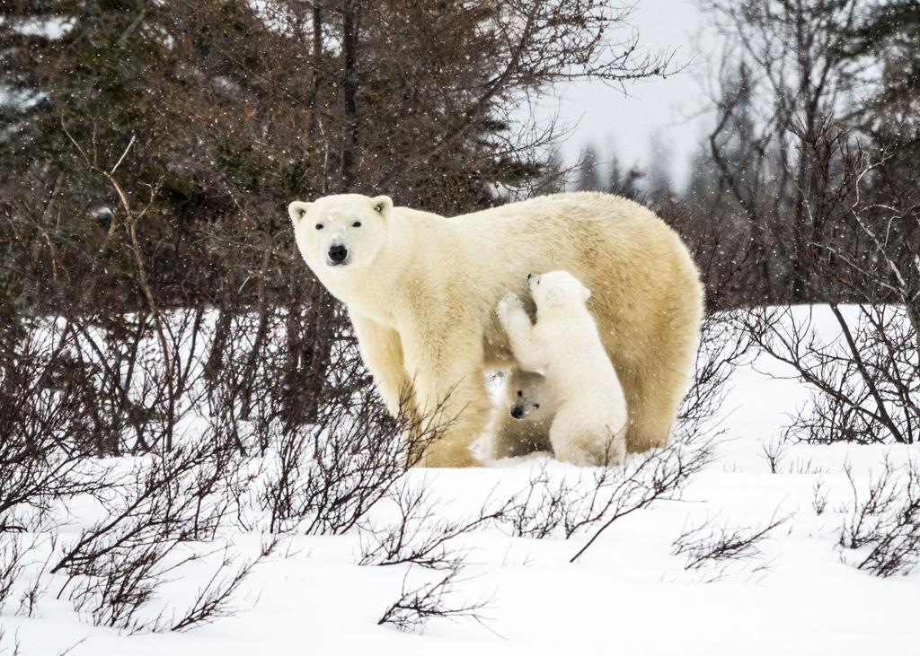 Polar Bear Den Emergence Quest Photo Essay. Jad Davenport interviews Dr. Virginia Huang.