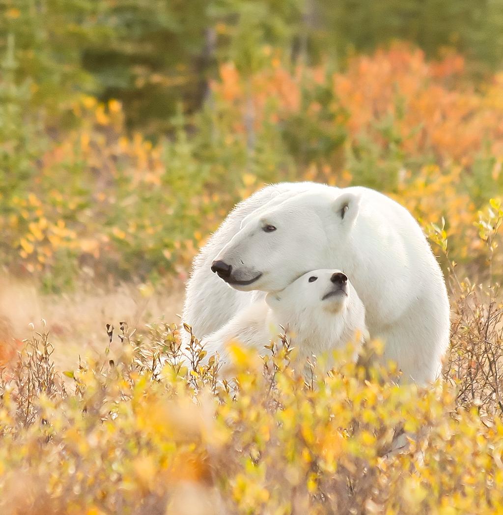 Autumn snuggle at Nanuk Polar Bear Lodge. The Story Behind the Photo.