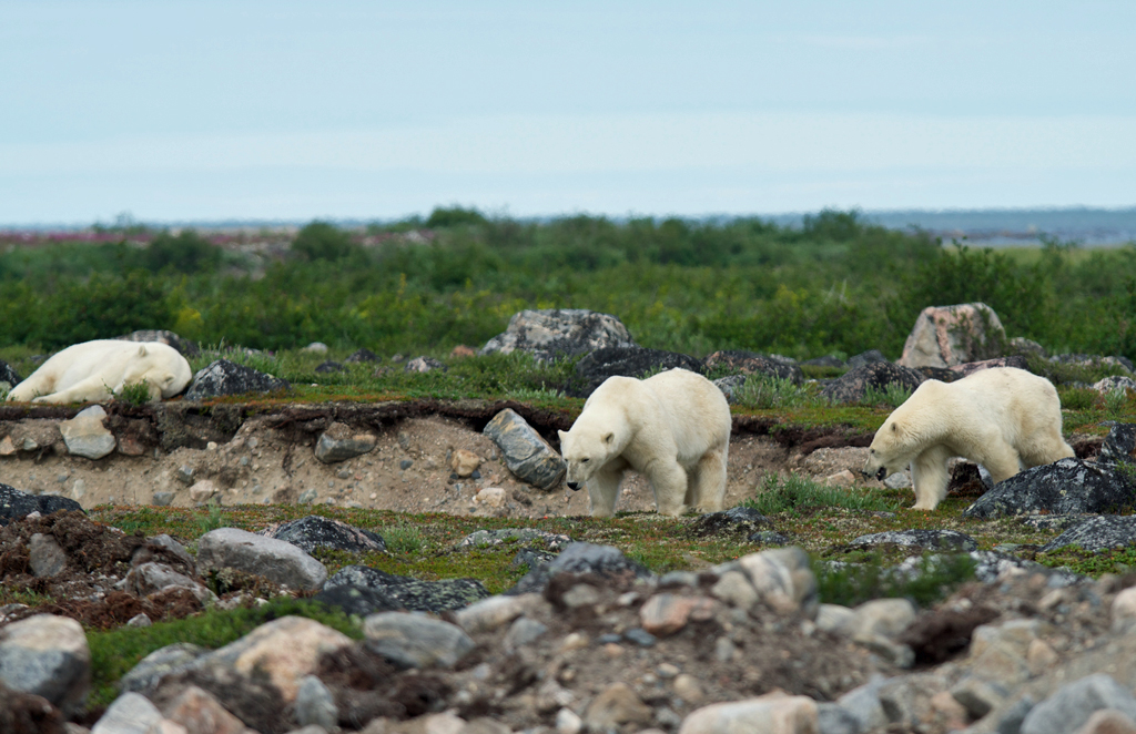 Three polar bears at Seal River Heritage Lodge. Photo courtesy of Churchill Wild guest Richard Gould