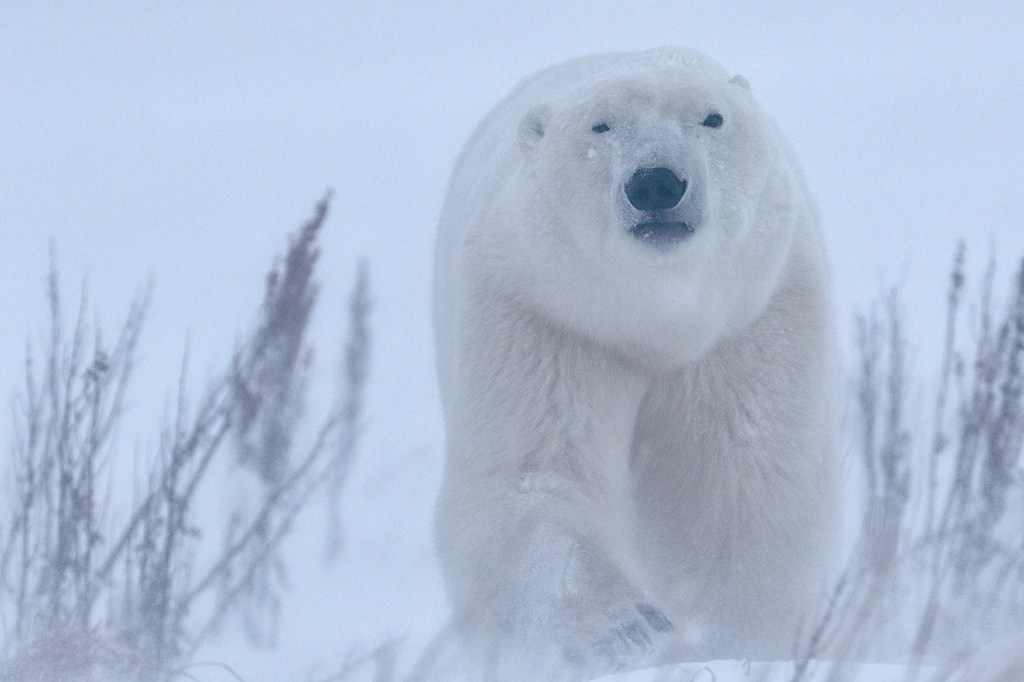 Polar bear emerging from the storm at Dymond Lake Ecolodge. Robert Postma photo.