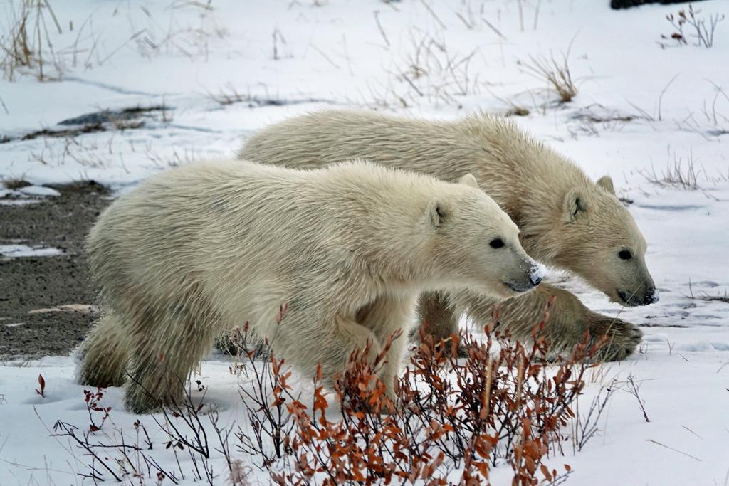 Polar bear cubs, Mom and males, highlight Polar Bear Photo Safari at Seal River