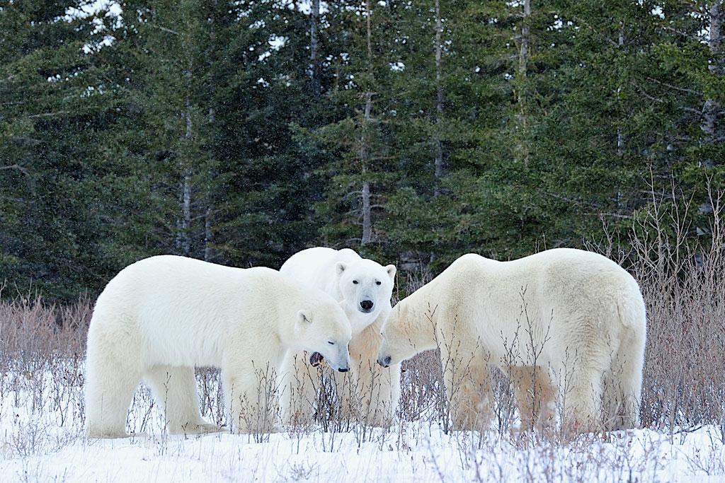 Polar bear trio in conversation. Ian Johnson photo.