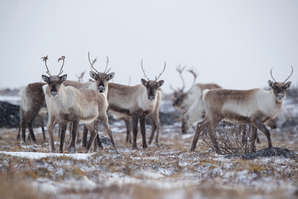 The Year the Caribou Came Back. The Story Behind the Photo.