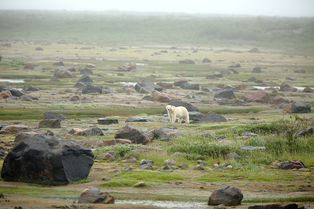 Seal River Heritage Lodge. Polar Bears. Without a camera.