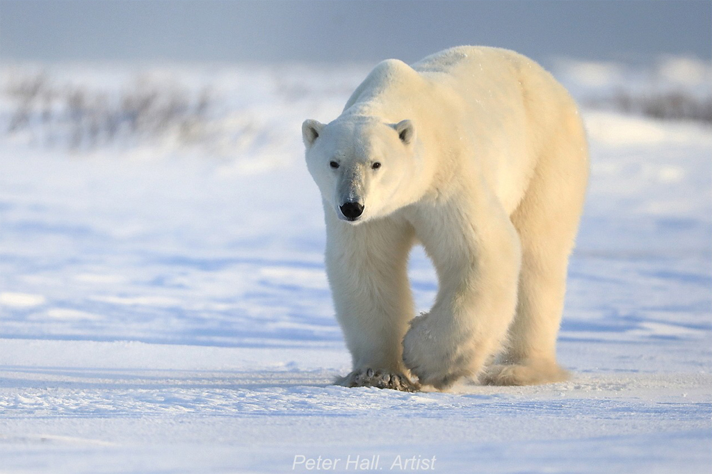 The Artist and the Polar Bear. The Story Behind the Photo.