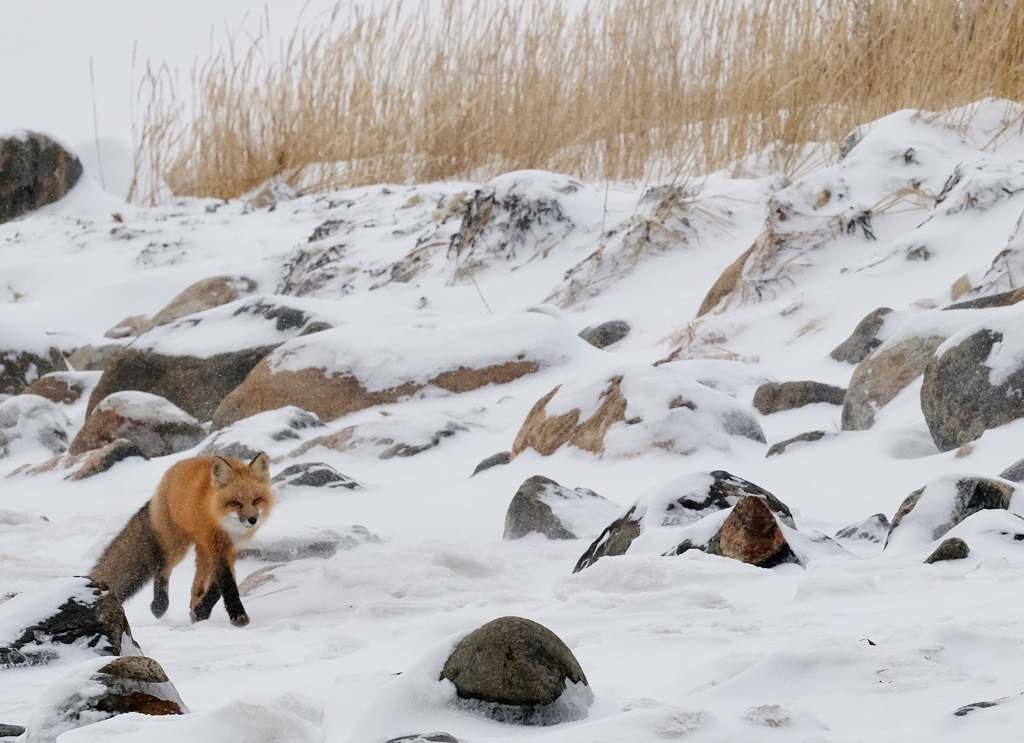 Red fox on the prowl at Seal River Heritage Lodge. Suzanne Morphet photo.