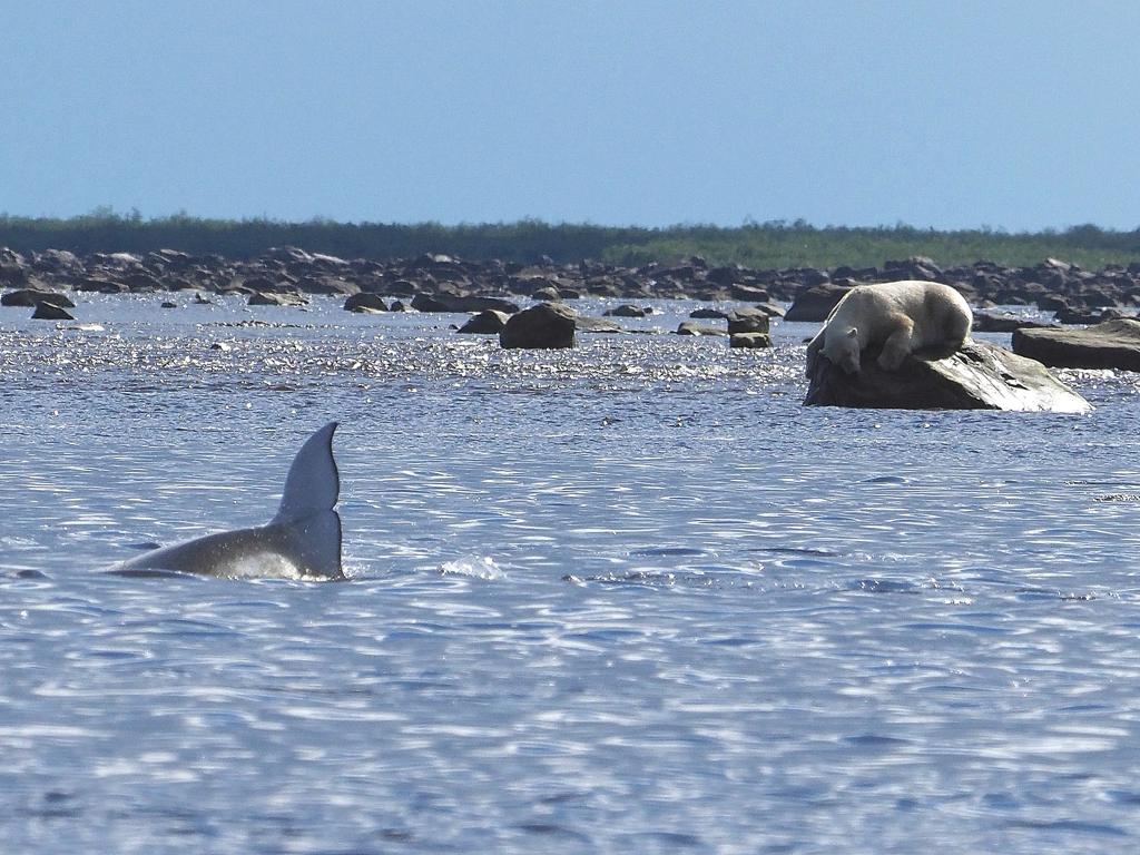 Polar bear hunting beluga whales. Seal River Heritage Lodge. Quent Plett photo.