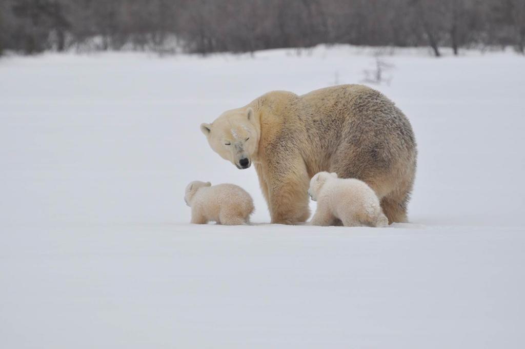 Polar bear cubs, wolves and wolverines highlight Den Emergence Quest at Nanuk Polar Bear Lodge