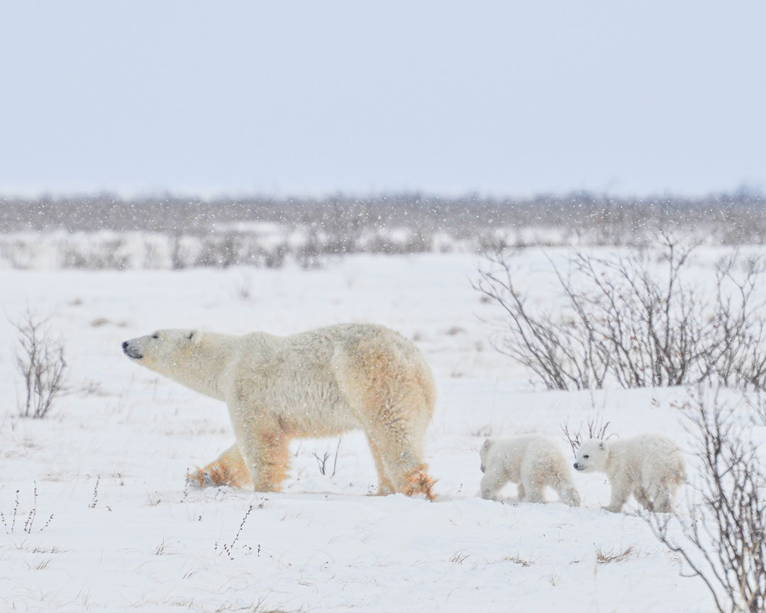 Back to the sea ice with Mom. Albert Saunders photo.