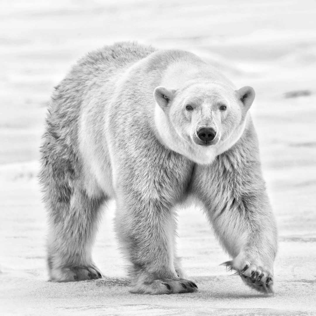 A feeling you won't find on any other polar bear adventure. The Story Behind the Photo.