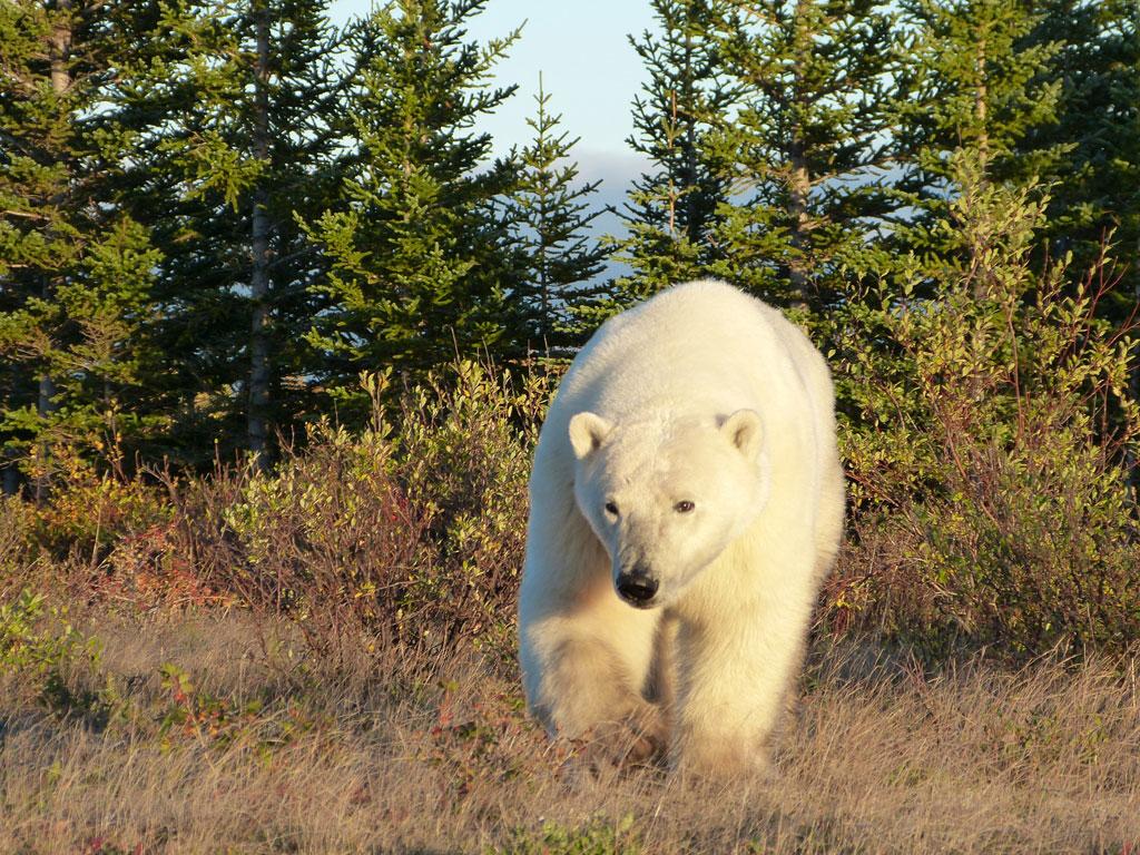 Polar bear approaching. Nanuk Polar Bear Lodge.
