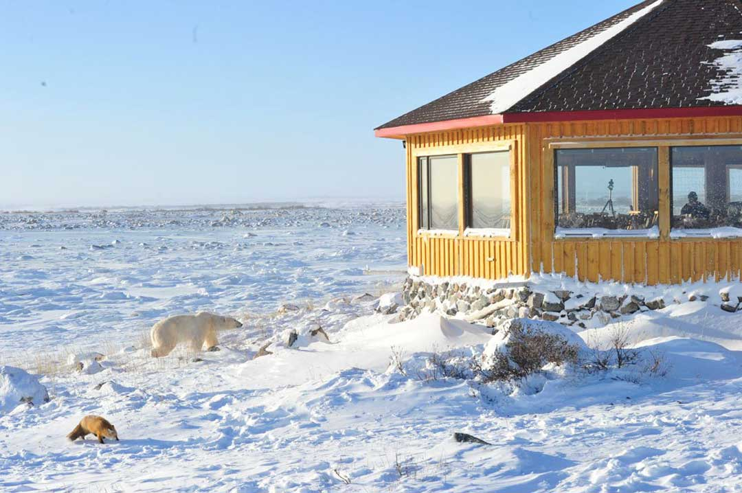 Polar bear and red fox smell dinner at Seal River Heritage Lodge. Ian Johnson photo.