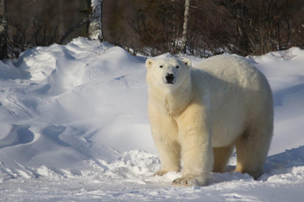 Polar bear in the boreal forest. Dymond Lake Ecolodge. Lukas Pindel photo.