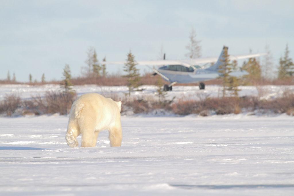 Polar bear and plane. Dymond Lake Ecolodge. Dafna Bennun photo.