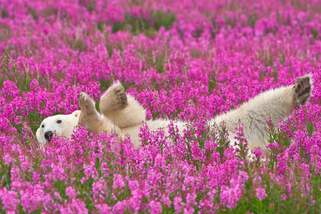 Polar bear frolicking in the fireweed. Dennis Fast photo.