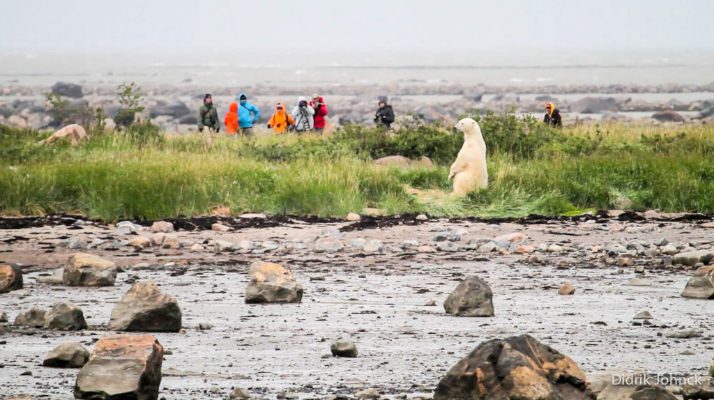 Polar bears and guests on the tundra. Seal River Heritage Lodge. Didrik Johnck photo.