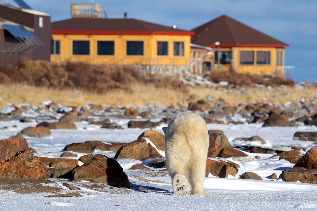 Polar bear heading towards Seal River Heritage Lodge. Andy Skillen photo.