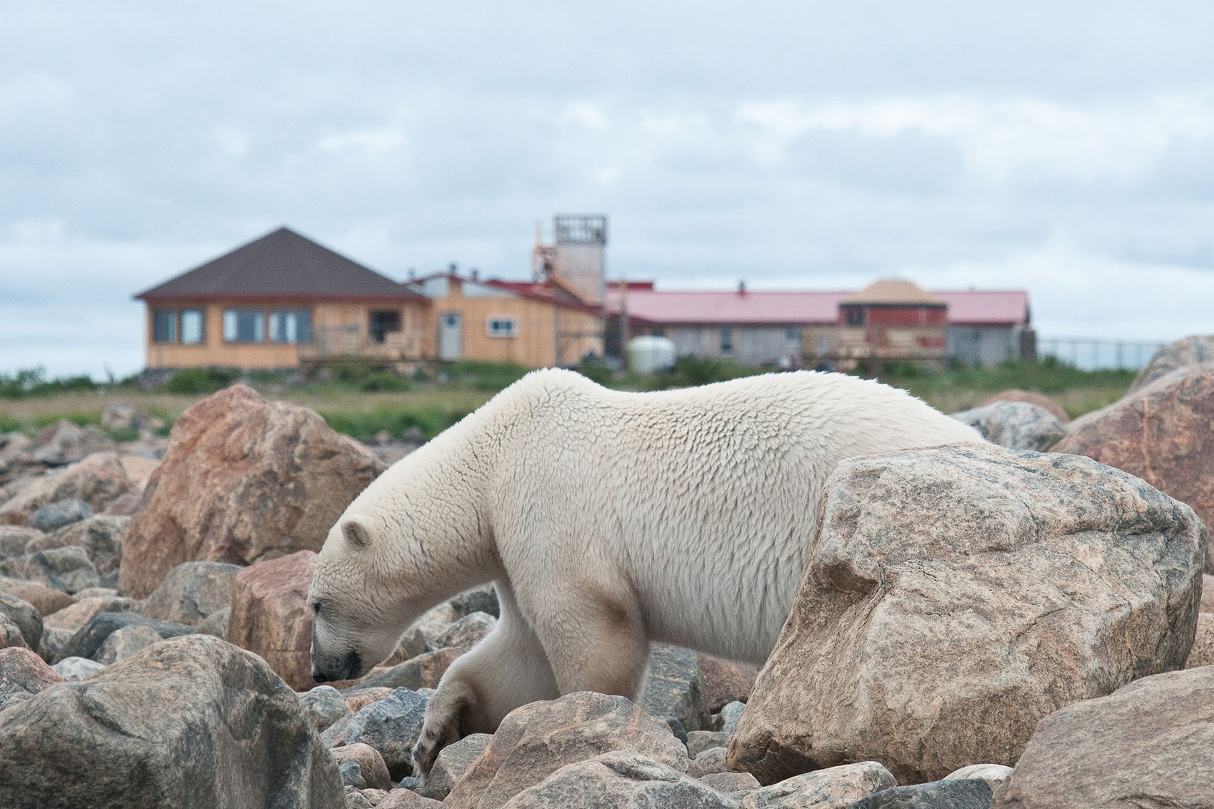 Polar bear wandering in front of Seal River Heritage Lodge. Dennis Fast photo.