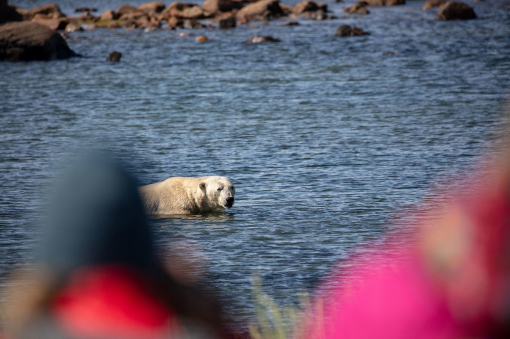 Polar bear swimming in the Hudson Bay. Seal River Heritage Lodge. Cody Doucette photo.