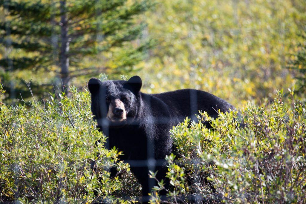 Black bear. Didrik Johnck photo.