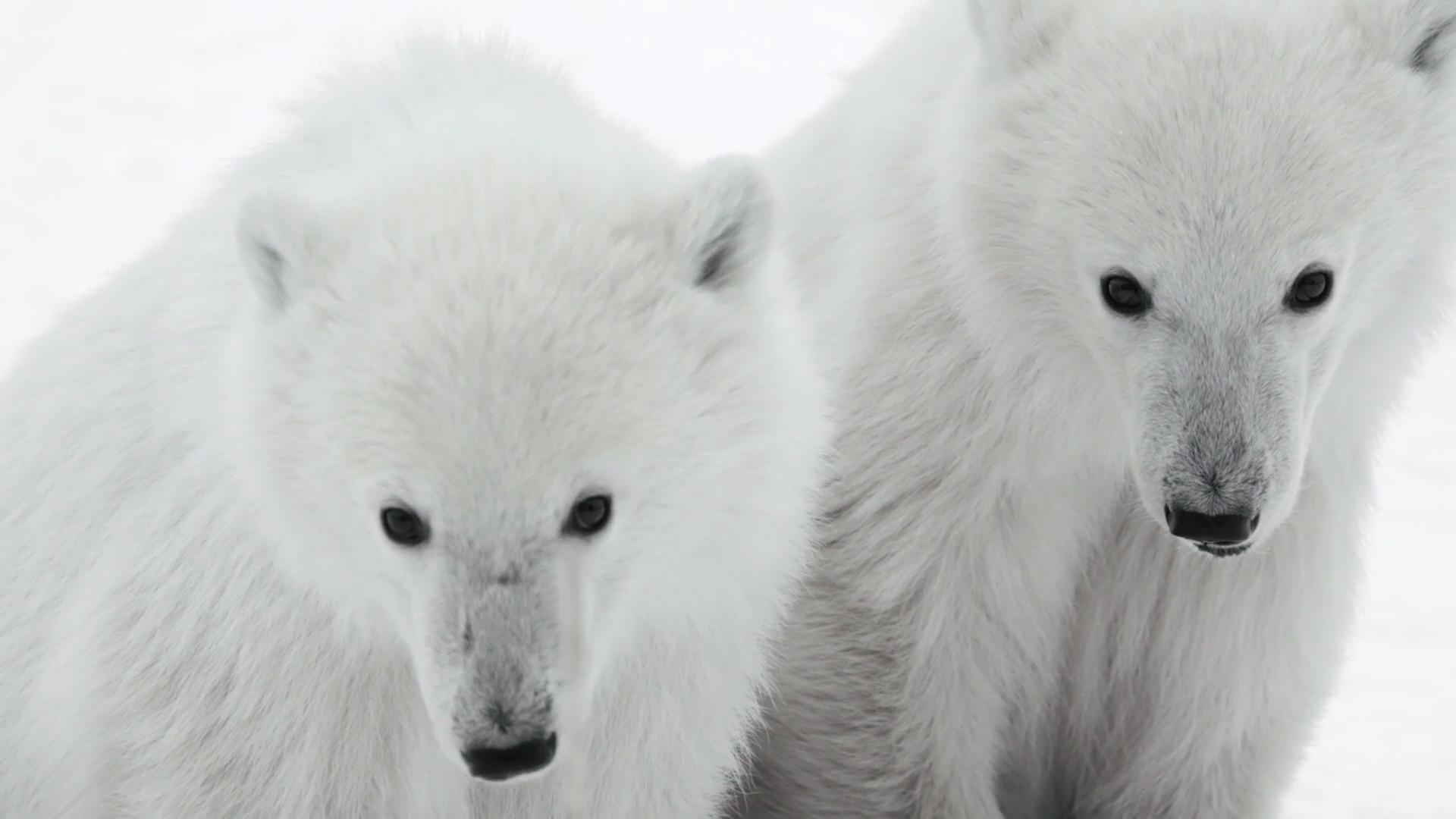 Polar bears cubs on the Great Ice Bear Adventure. Dymond Lake Ecolodge. Build film photo.
