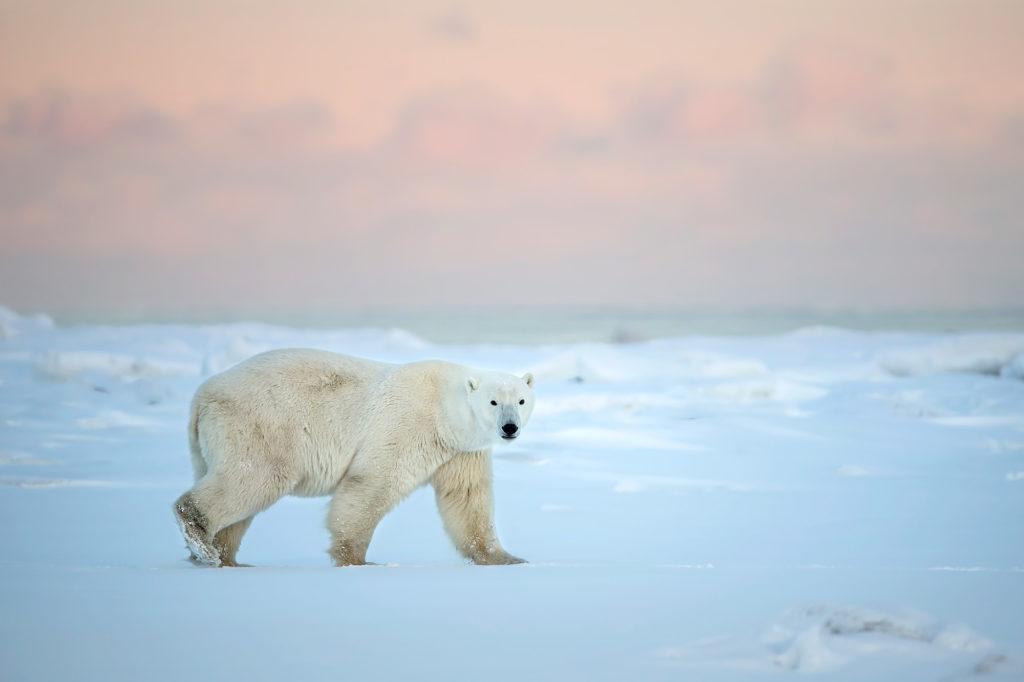 Polar bear. Photo Safari. Fabrizio Moglia photo.