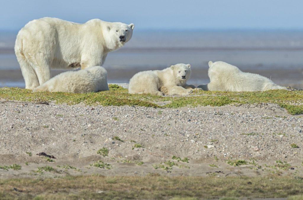 Mom and cubs lounging in the sandbar. Nanuk Polar Bear Lodge. Robert Postma photo.