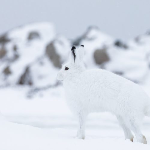 Arctic hare camouflage. Churchill Wild. Chase Teron photo.
