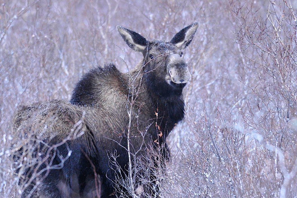 Cow moose. Nanuk Polar Bear Lodge. Ian Johnson
