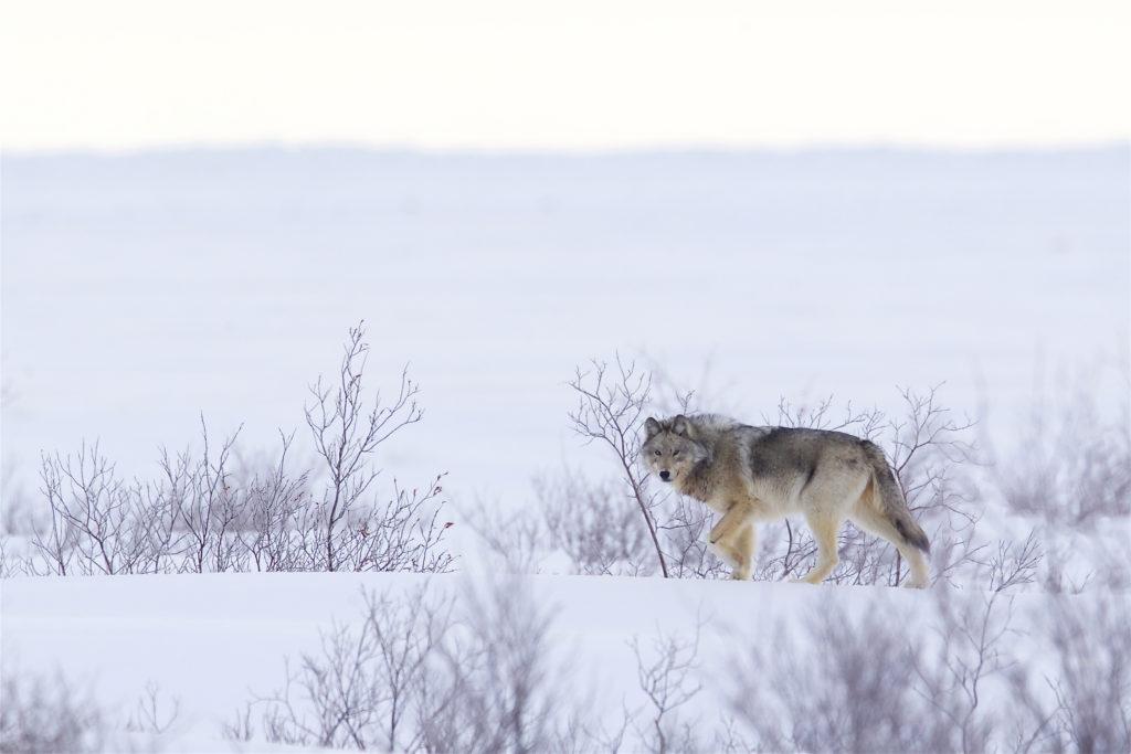 Gray wolf. Nanuk Polar Bear Lodge. Andy Skillen photo.