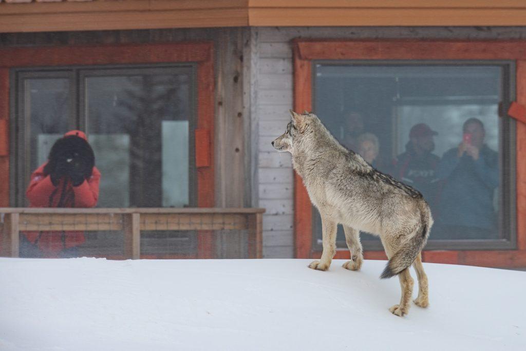Grey wolf at Nanuk Polar Bear Lodge. Jad Davenport photo.