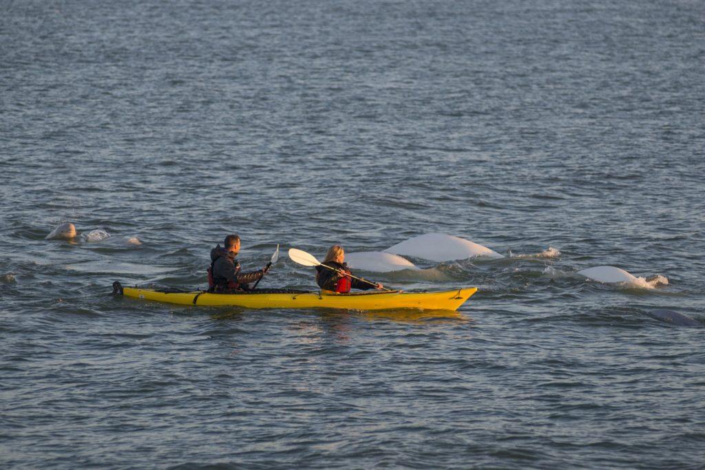 Kayaking with belugas. Sea North Tours.