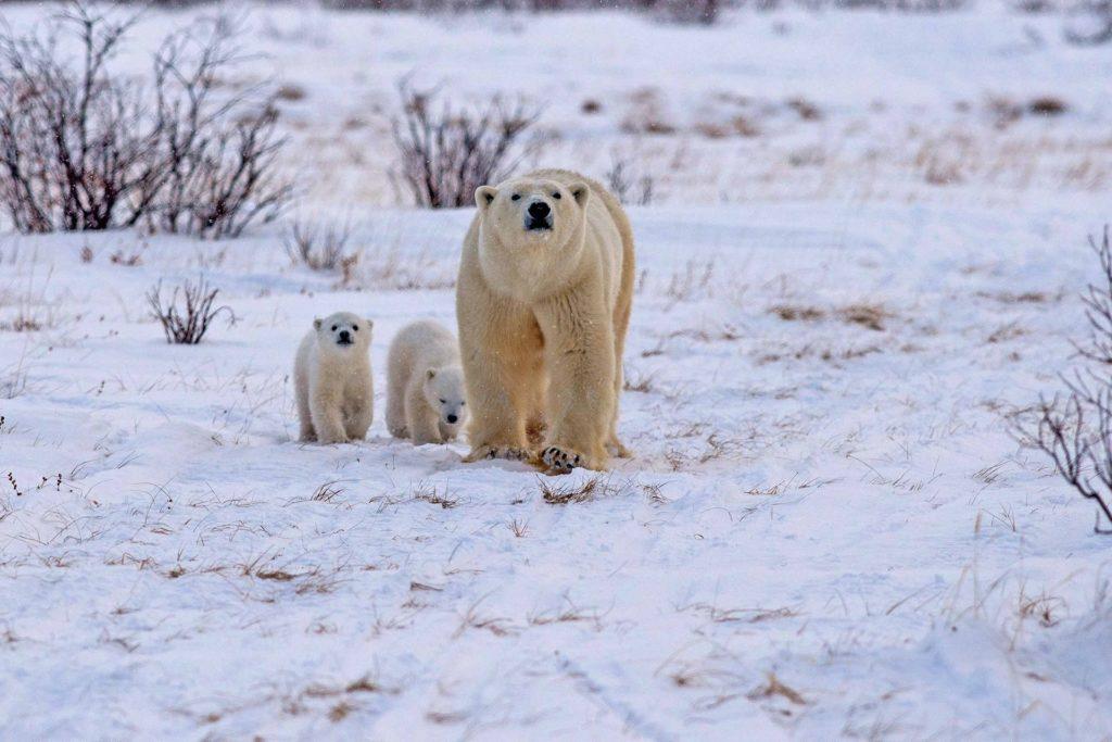 Polar bear and cubs. Nanuk Polar Bear Lodge. Josh Robson photo.