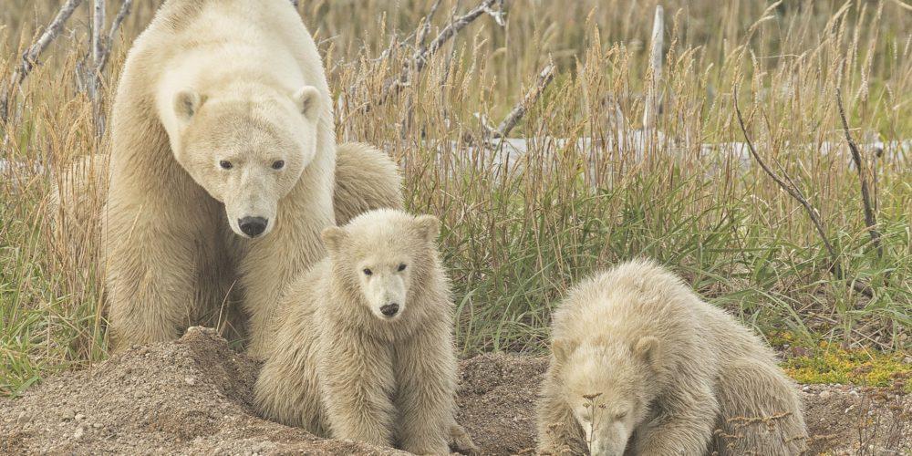 Mom and cubs. Nanuk Polar Bear Lodge. Robert Postma photo.