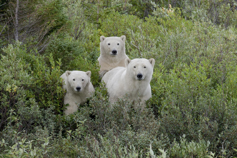 Polar bear cubs. Seal River Heritage Lodge. Michel Rawicki photo.