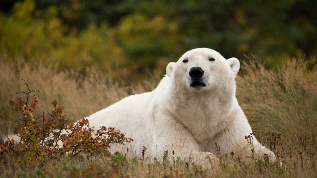 Polar bear in the field. Nanuk Polar Bear Lodge. Alisa Houpt photo.