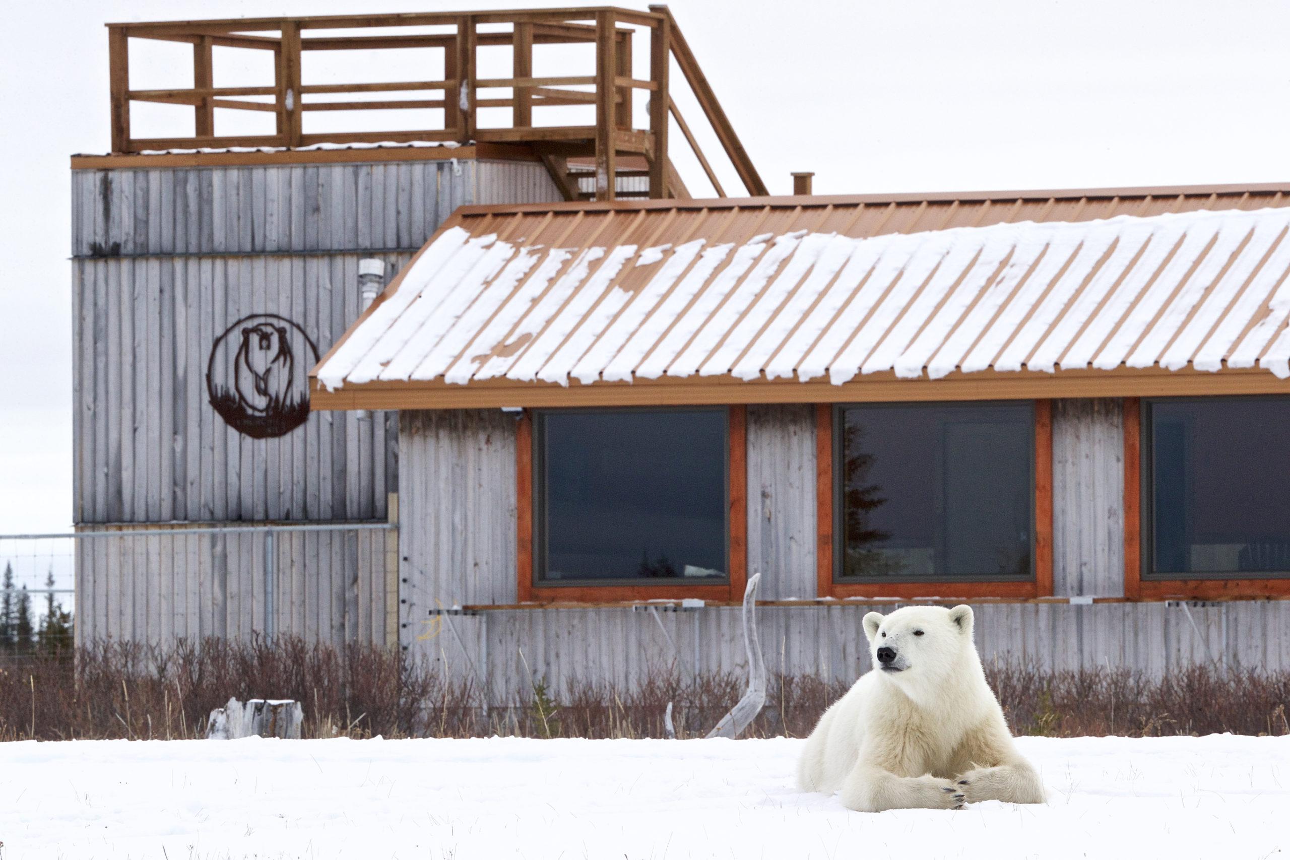 Polar bear in front of Nanuk Polar Bear Lodge. Andy Skillen photo.