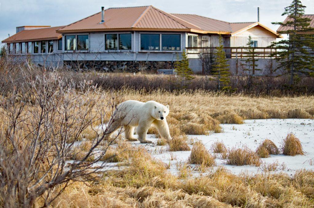 polar bear strolling by Nanuk Polar Bear Lodge. John Donelson photo.