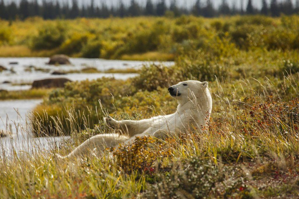Polar bear in the summer. Nanuk Polar Bear Lodge. Andre Erlich photo.