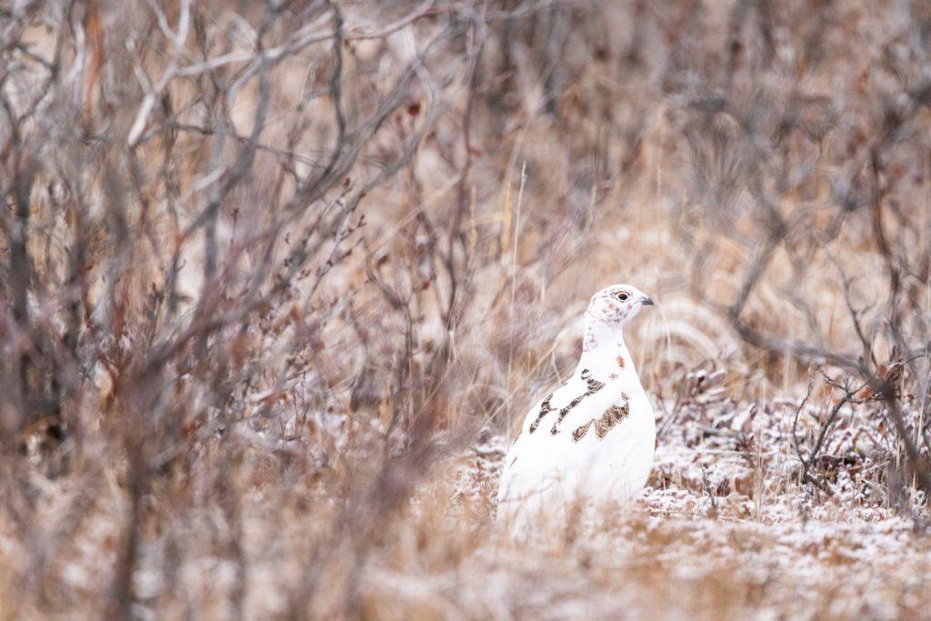 Ptarmigan camouflage. Jenni Lisacek photo.