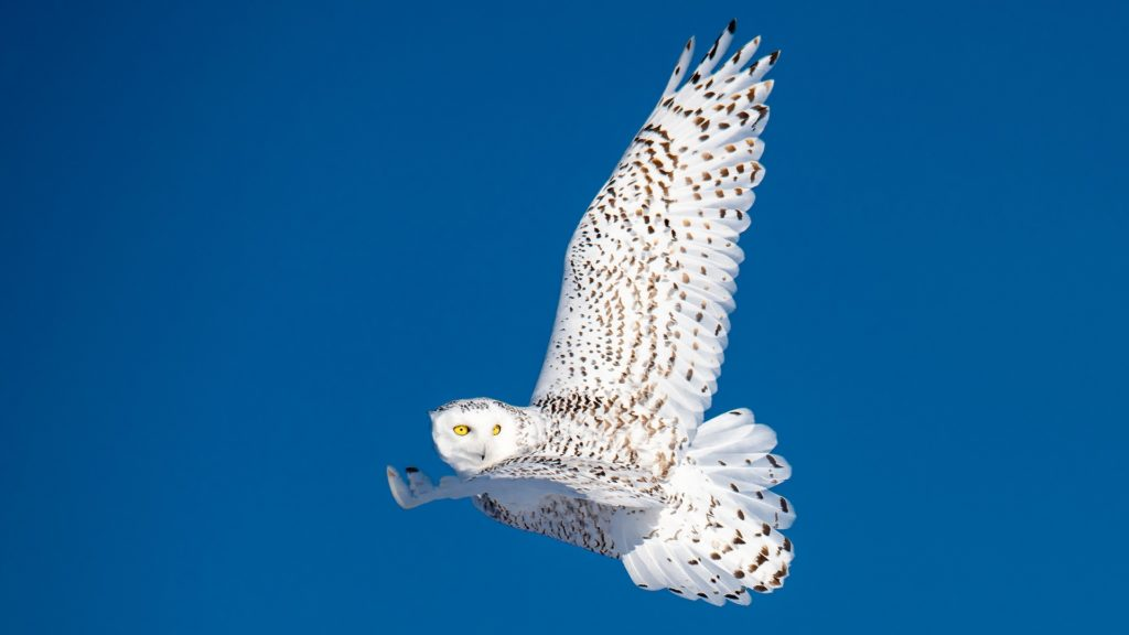 Snowy owl. Nanuk Polar Bear Lodge. Jad Davenport photo.