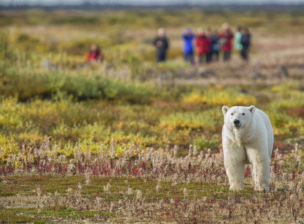 Walking with polar bears. Nanuk Polar Bear Lodge. Robert Postma photo.